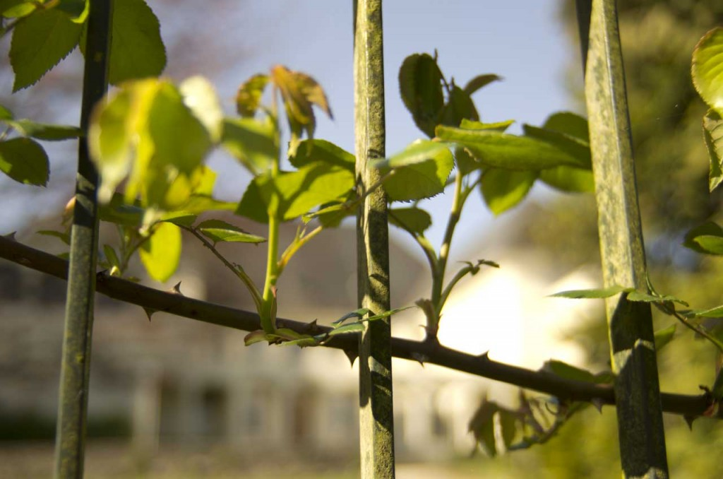 La clôture derrière les roses
